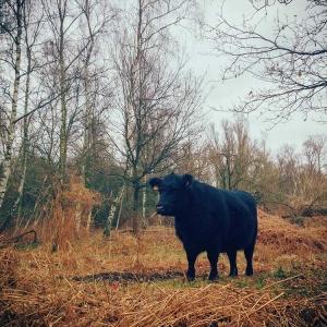 Antwerp Cow